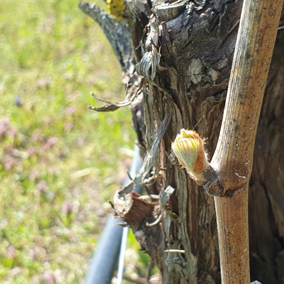 frische Knopse an der Weinrute