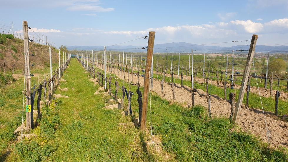 Bodenbearbeitung im Weinberg statt abspritzen