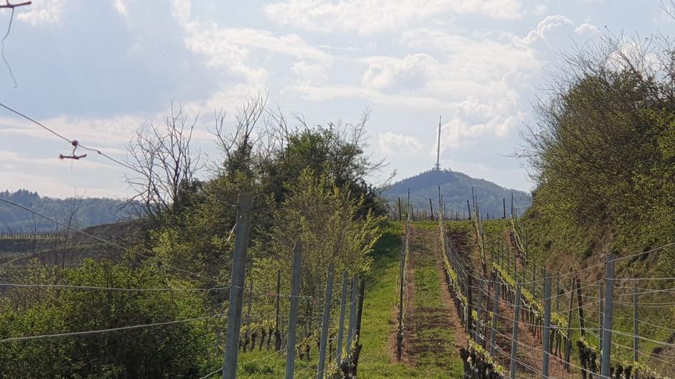 Unser Weinberg mit Blick auf den Neunlindenturm