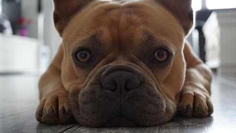 french-bulldog-4390163.jpg