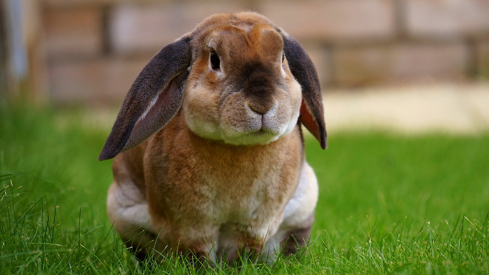 rabbit-1422882.jpg