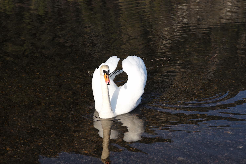 Posing swan