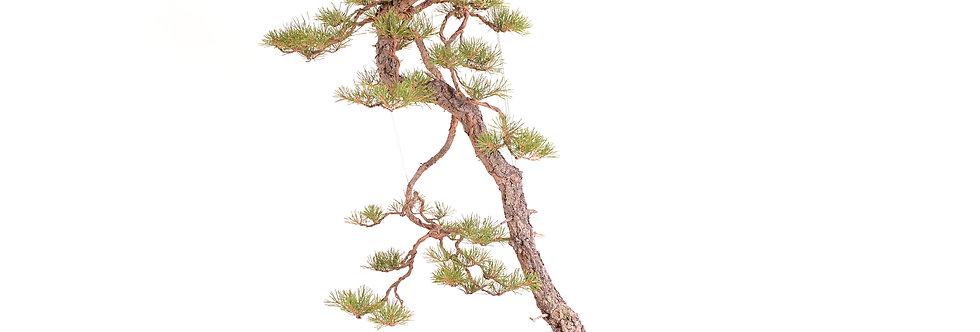 Pinus sylvestris 110x60