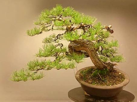 "Evolution of a collected Pinus sylvestris ""Möbius"""