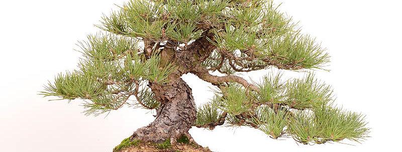 Pinus sylvestris 36x53cm
