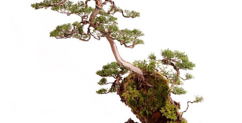 Juniperus 78x62cm - 17kg