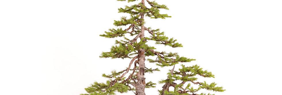 Picea abies 67x80cm - 9kg