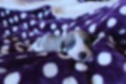fawn brindle parti dog.jpg