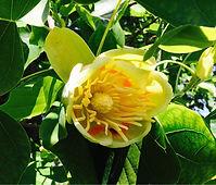Couleurs casaqu - fleurs de tulipier - course hippique
