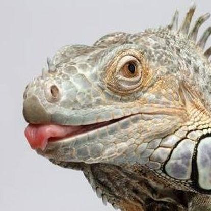GreenIguanaBath-Iguana.jpg
