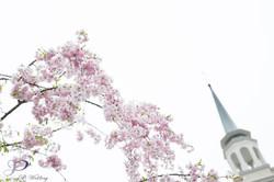日本櫻花下的婚禮Wedding in Sakura season