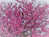 Sakura saku  道路のあちらこちらに桜が満開でした。 美しいピンク色に目が覚めます。