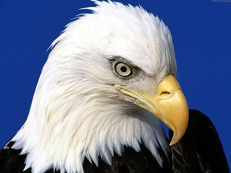 bald-eagle-headshot.jpg