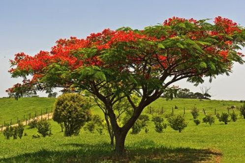 Flame Tree ǀ Delonix regia