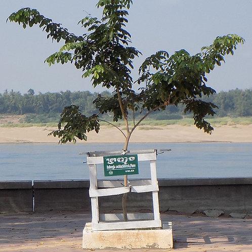 Siamese Rosewood ǀ Dalbergia cochinchinensis