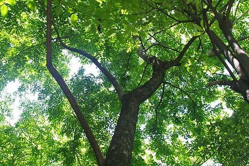 Amboyna (Narra) ǀ Pterocarpus indicus