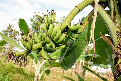 Thai Banana tree ǀ Musa acuminata