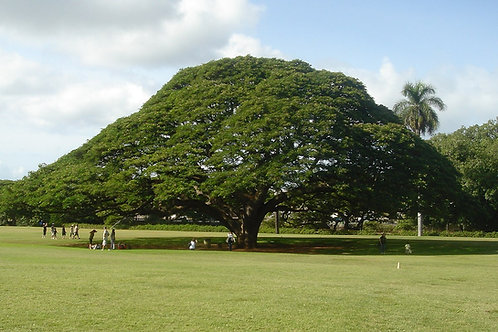 Rain Tree ǀ Samanea saman