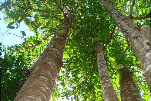 Agarwood ǀ Aquilaria malaccensis
