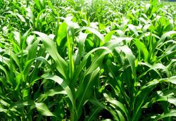 Maize Plant