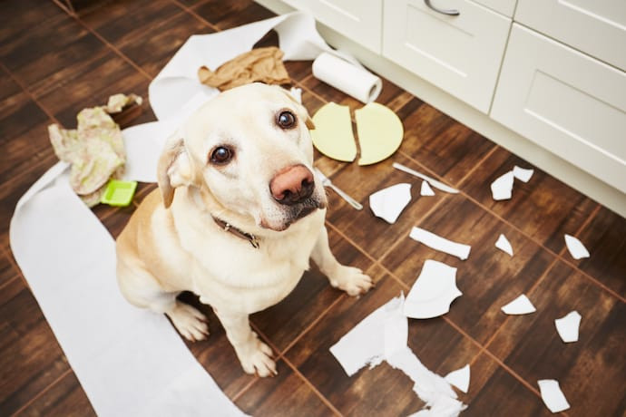 A dog has chewed up household items