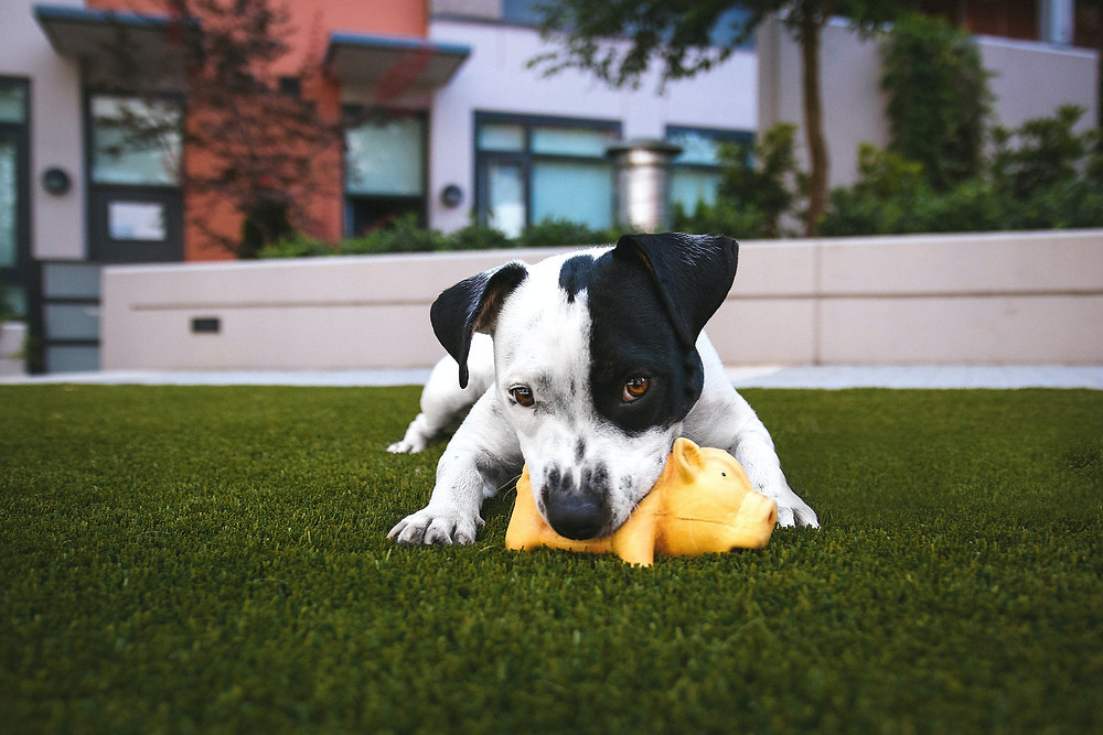 Dog Playing with Toy on Grass