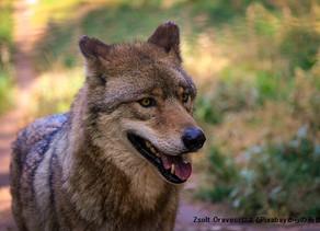 オオカミの食生活