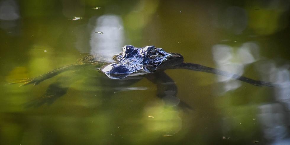 Alligator-1-5.jpg
