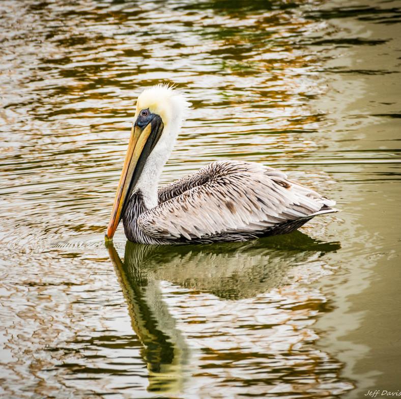 Brown Pelican-1571.jpg