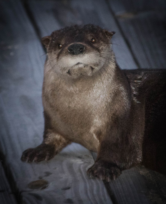 Sea Otter 1-1.jpg