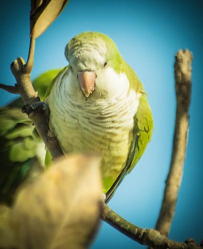 monk Parakeet-1-7.jpg