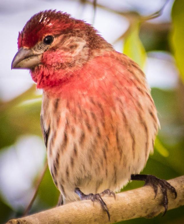 Purple Finch-1-3.jpg