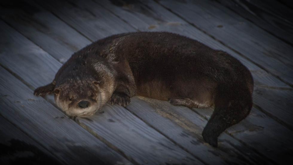 Sea Otter 2-1.jpg