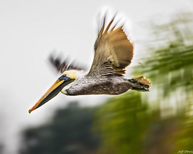 Brown Pelican-1539.jpg