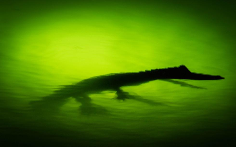 alligator-1.jpg