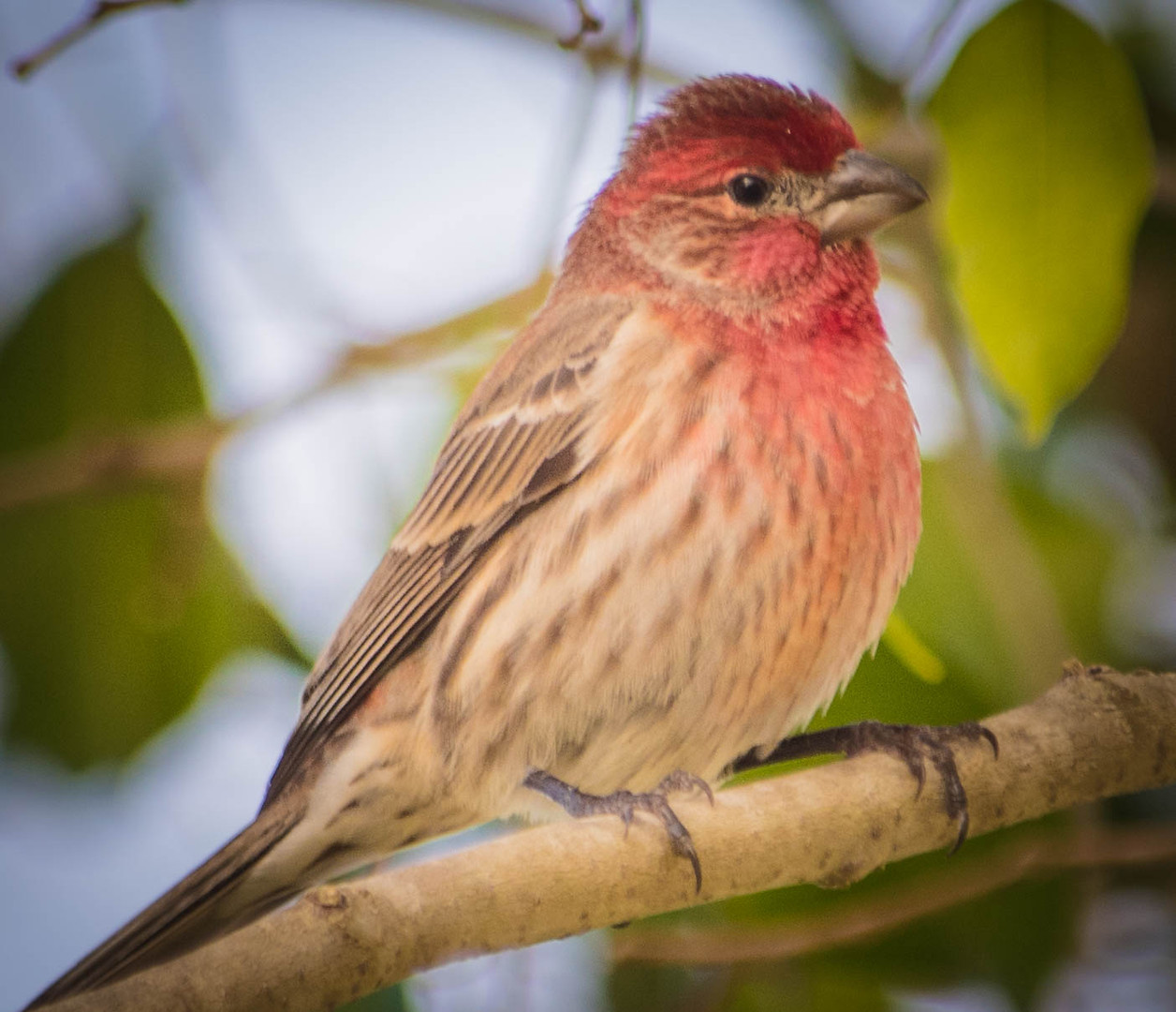 Purple Finch-1.jpg