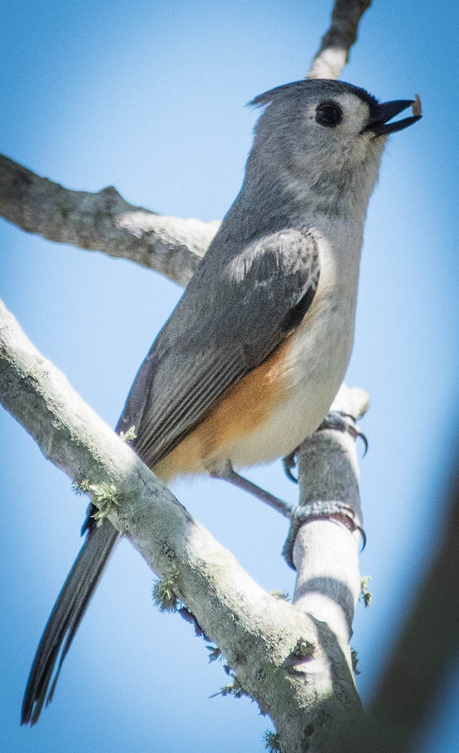 Tufted Titmouse-1-4.jpg