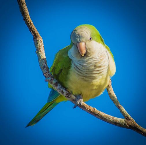 Monk Parakeet -1.jpg