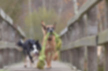 malinois-and-border-collie-788032_960_72