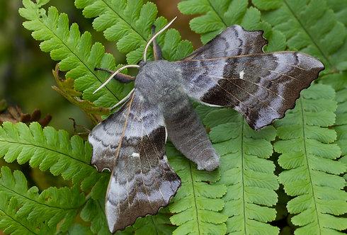 A4 Poplar Hawk-moth