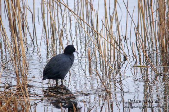 21st Feb 2018_ Coot_  Kirkby Gravel Pits_ watermarked_ 01.jpg