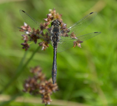 Black Darter Dragonfly