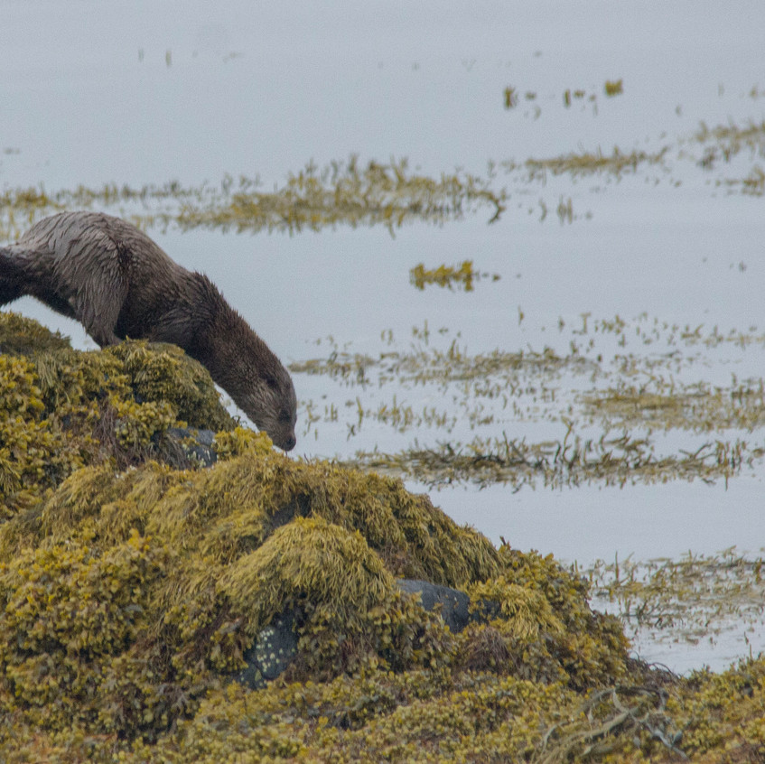 18th June 2017_ Otter _Loch Scridain _21