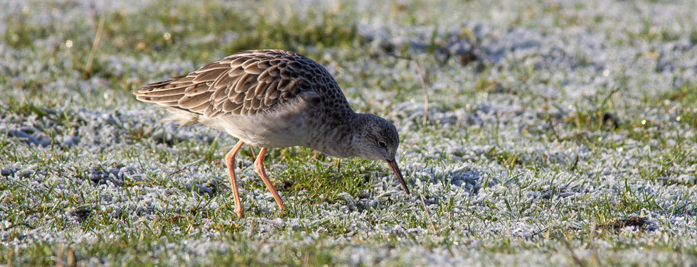 Winter Ruff