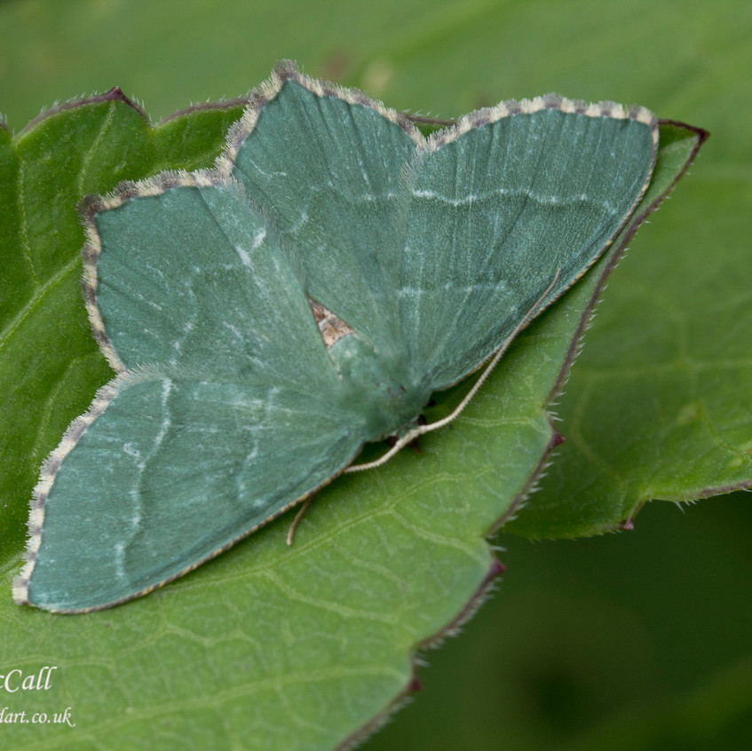 8th July 2016 _Common Emerald Moth _Bracebridge Heath Garden _07