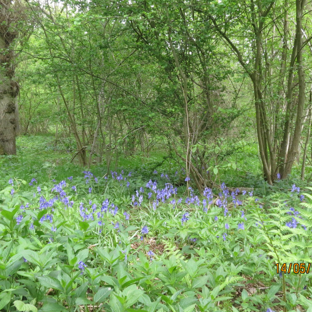 14th May 2013 _Bluebells
