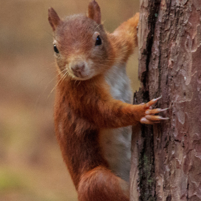 6th Oct 2016  _Red Squirrel _Formby_S35