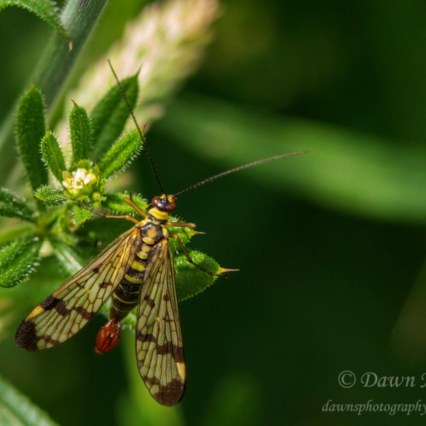 Scorpion Fly_Martin Downs