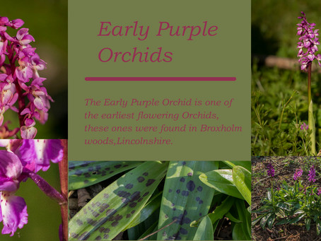A Look at the Early Purple Orchid