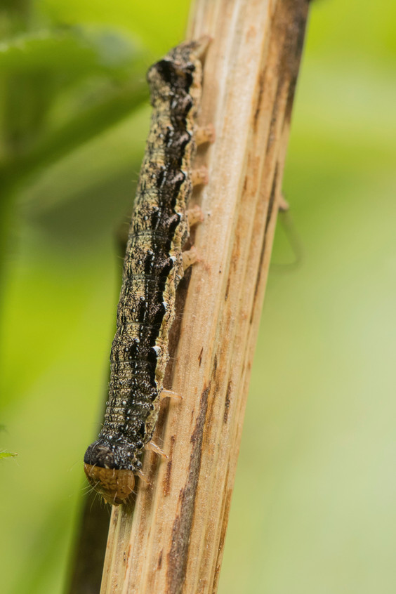 23rd May 2018_ Twin-spotted Quaker Caterpillar_ Twyford Wood_ 02